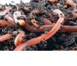 Выращивание червей (червеводство) — эко бизнес