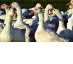 Выращивание гусей как бизнес