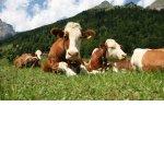 В «молоко»: почему деньги государства не доходят до производителей