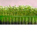 Как супруги из Санкт-Петербурга зарабатывают на микрозелени