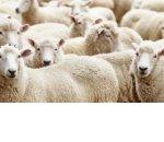 Как заработать свой первый миллион на разведении овец