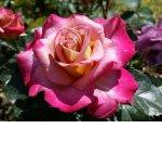 Бизнес на выращивании роз: затраты, доходность