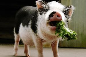 Как открыть свиноферму